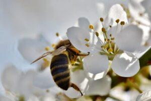 piqûres abeille