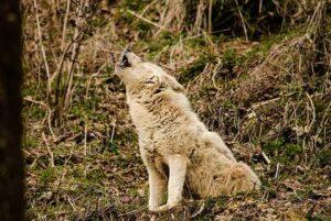 chien fait le loup